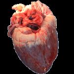 Wildprethygiene - Das Herz