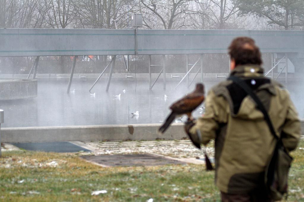Ein Stadtjäger als Falkner auf der Jagd nach Möven bei einer Kläranlage