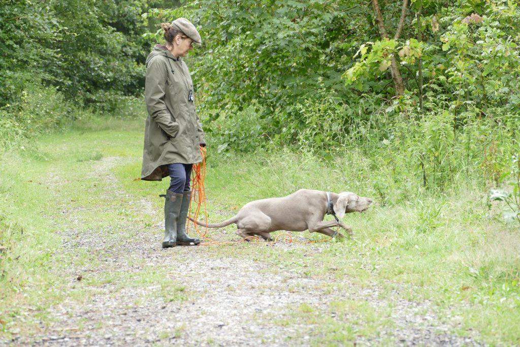 """Hundeführerin steht mit der Feldleine in der Hand auf dem Waldweg. Der Jagdhund, ein Weimaraner, hat das Kommando """"Ablegen"""" erhalten und tut sich nieder. Der Jagdhund soll Ruhe bewahren und beobachten."""