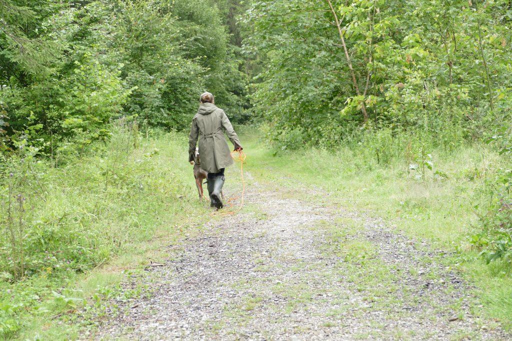 Der Weimaraner wird an der Feldleine geführt. Ein Spaziergang durch den Wald.