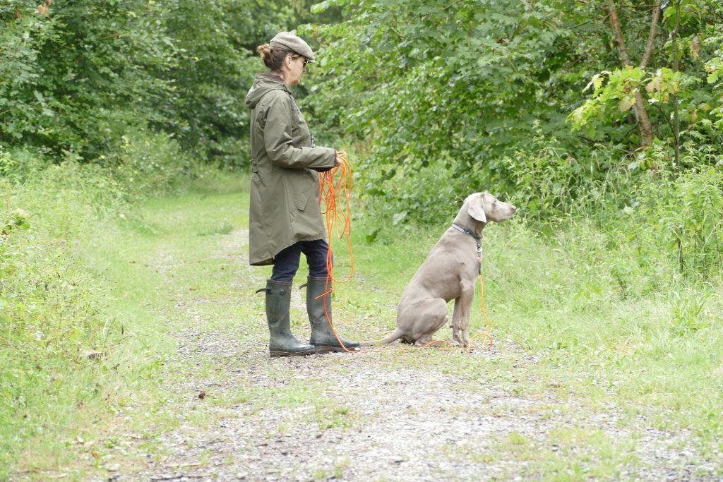 Der Jagdhund, Weimaraner, hat das Wild im Wald eräugt und sitzt ruhig.