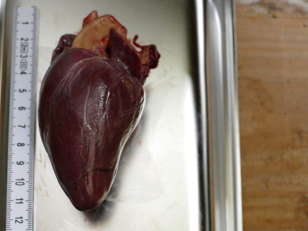 Organe Wildkörper Rehwild Herz
